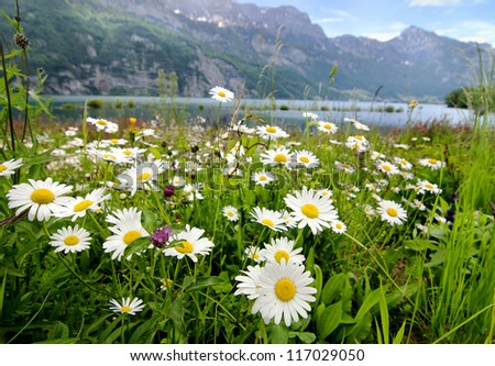 Beautiful landscape with daisy flowers on the foreground and mountain lake on the background - stock photo
