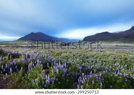 beautiful landscape with field of flowers and mountains on background, Iceland