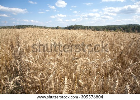 Beautiful landscape with lot ears of rye on rural field under blue sky with white clouds on sunny summer day closeup