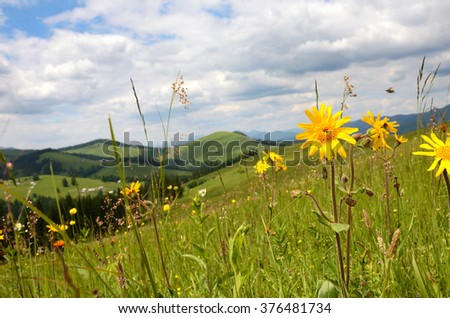 Beautiful landscape with meadow of wildflowers on a background of mountains (arnica flower) - stock photo