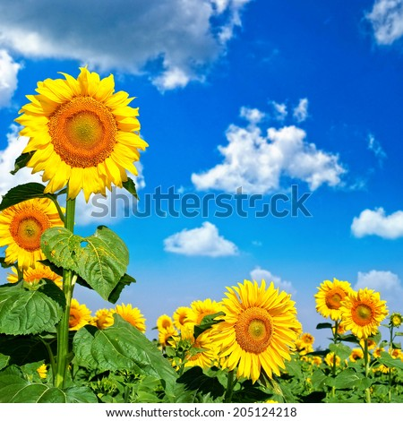 Beautiful landscape with sunflower field over cloudy blue sky and bright sun lights - stock photo
