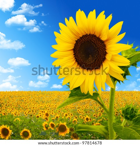 Sunflower Stock Images Royalty Free Images Vectors