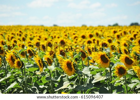 Helianthus Stock Images Royalty Free Images Vectors