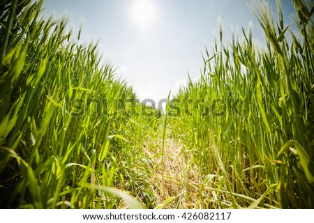 beautiful landscape with the sky and green field of wheat