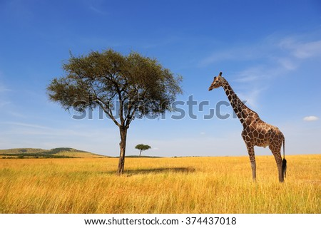Beautiful landscape with tree and giraffe in Africa - stock photo
