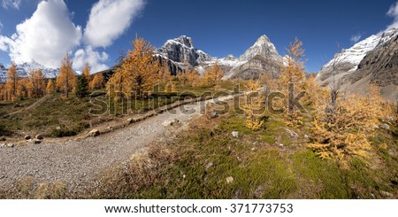Beautiful Larch Trees, Sentinel Pass Hike, Lake Louise,  Banff National Park, Alberta, Canada Picture taken on September 26, 2015