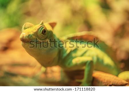 Beautiful large iguana crawling on tree branch. - stock photo