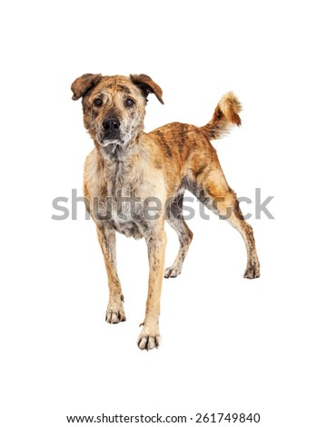 Beautiful large Labrador and Chow mixed breed dog with brindle markings on his coat standing and looking forward with an intent expression. Image taken isolated on a white studio background. - stock photo