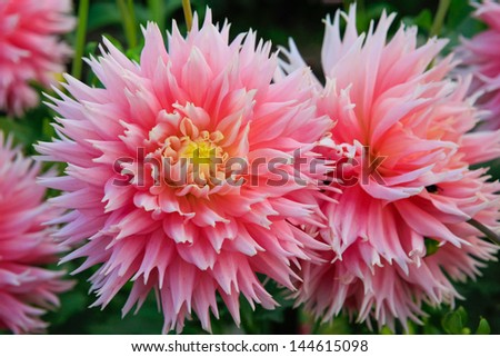 Beautiful large pink dahlias with yellow center.