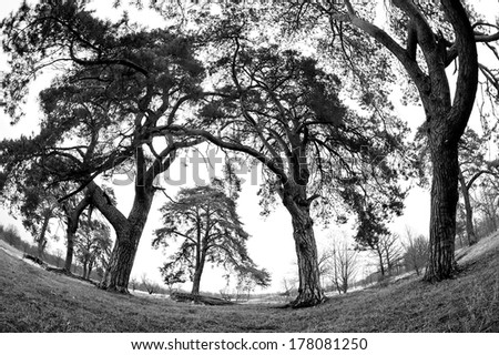 beautiful largest trees in pine forest - stock photo