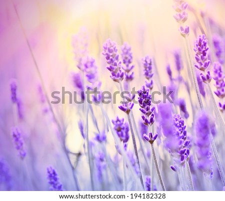 Beautiful lavender - stock photo