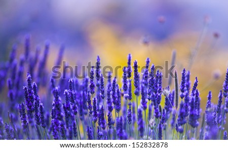 beautiful lavender background - stock photo
