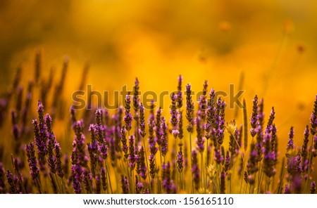 beautiful lavender background - stock photo