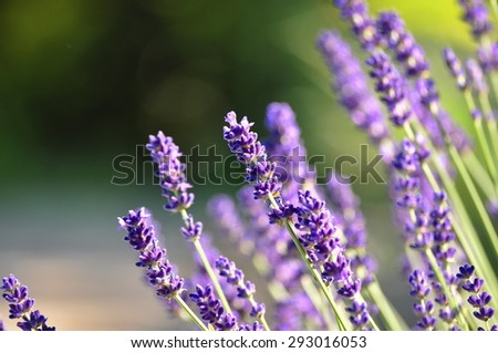 beautiful lavender background in nature