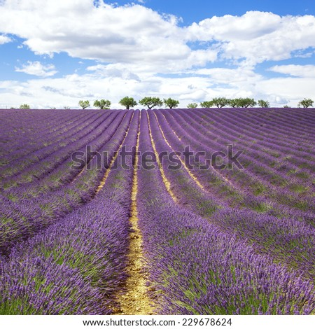 Beautiful lavender field with cloudy sky, France, Europe - stock photo