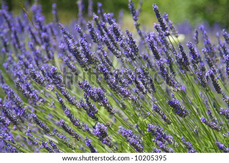 Beautiful lavender fields, product of the Provence in the south of France. - stock photo