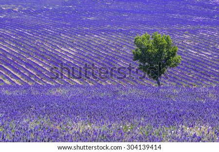 Beautiful lavender filed in Provence with a lonely tree - stock photo