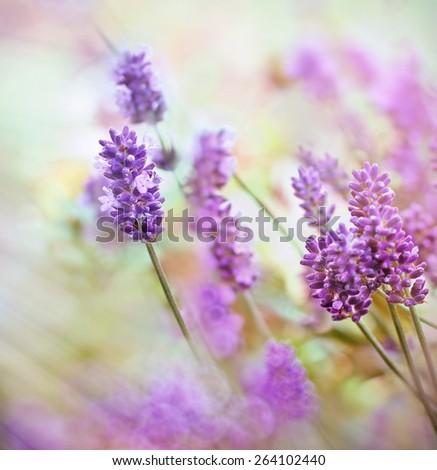 Beautiful lavender flower - stock photo