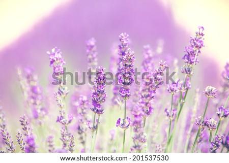 Beautiful lavender flower, blooming bush close up, natural, pastel colors.  - stock photo