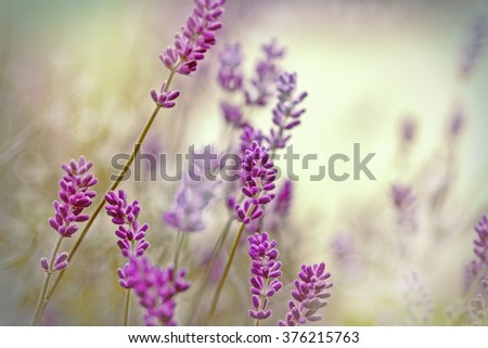 Beautiful lavender flower in flower garden