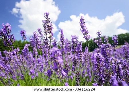 beautiful lavender flowers blossom in the garden - stock photo