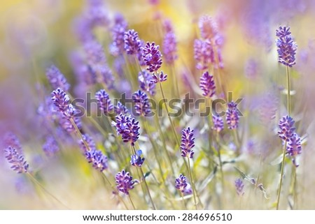Beautiful lavender flowers from Vojvodina (Serbia)