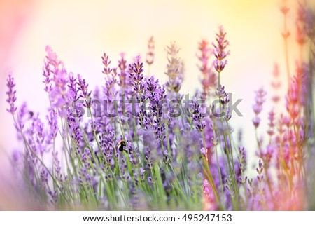 Beautiful Lavender Flowers In Flower Garden Lit By Sunlight