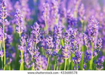 Beautiful lavender flowers in sunlight - stock photo