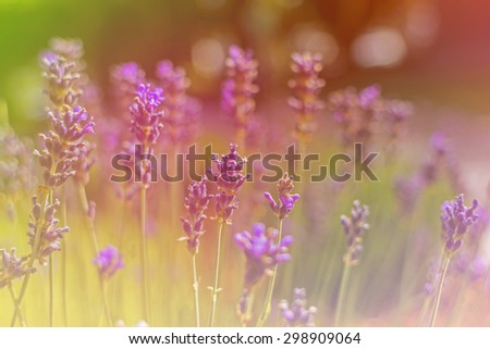 beautiful lavender flowers made with color filters. - stock photo