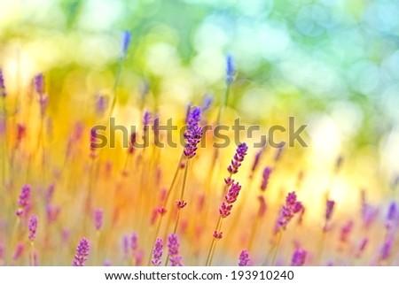 Beautiful lavender in my flower garden - stock photo