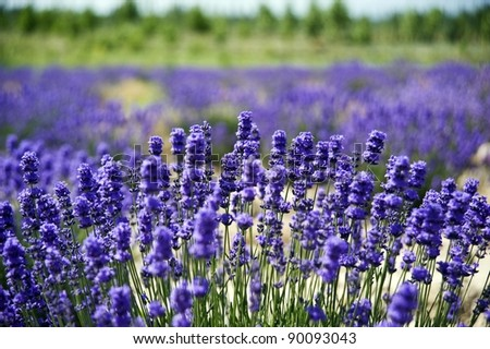 beautiful lavender in outdoor - stock photo