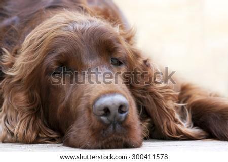 Beautiful lazy Irish Setter lying on the ground - stock photo