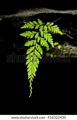 Beautiful leaf of fern natural fern background with back light in back bacground style.  - stock photo