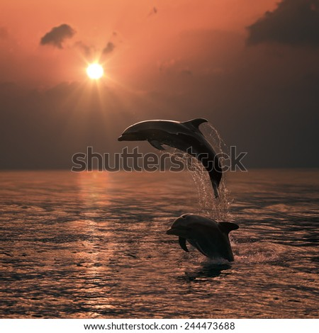 Beautiful Leaping Dolphin bumping from sunset sea - stock photo