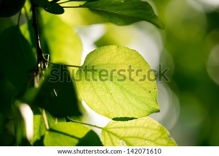 beautiful leaves of a tree in nature