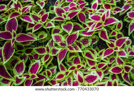 Beautiful leaves of Coleus