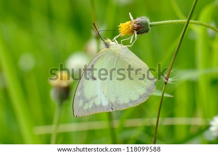 beautiful Lemon Emigrant butterfly (Catopsilia pomona)on flower near the road track - stock photo