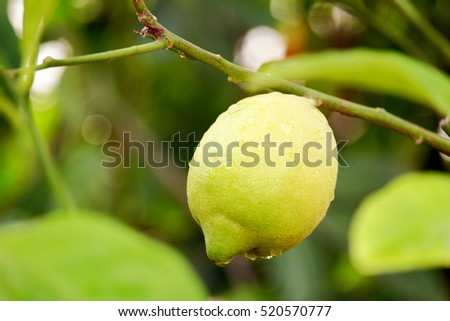 Beautiful lemon growing on a tree branch