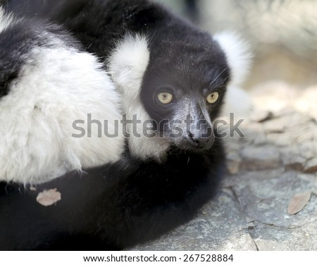 Beautiful lemur is photographed close-up in zoo - stock photo