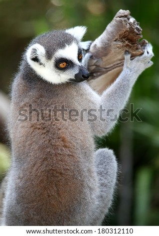 Beautiful Lemur primate with orange eyes  clinging to a tree branch