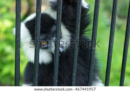 beautiful lemur tries to get out of the cell