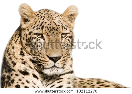 Beautiful leopard closeup - isolated on white background - stock photo