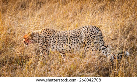 Beautiful leopard in the grass in Kenya, Africa - stock photo