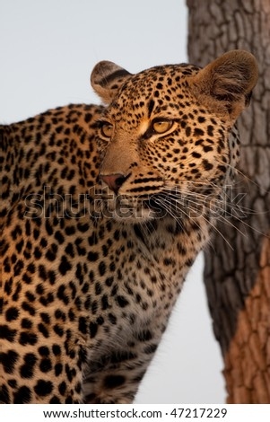 Beautiful leopard in tree looking at prey in greater kruger park - stock photo