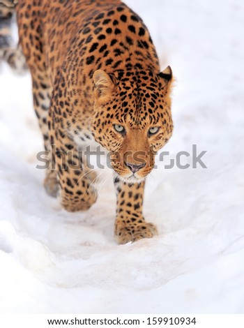 Beautiful leopard on snow in winter day - stock photo
