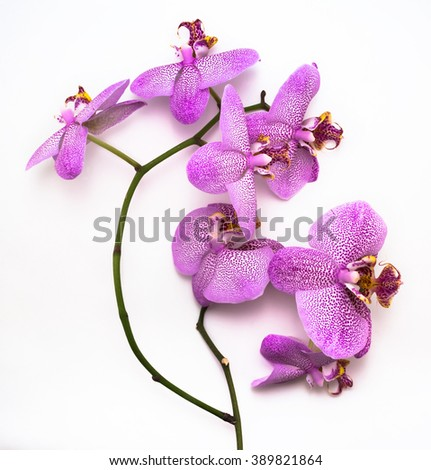 Beautiful leopard Phalaenopsis orchid flower on white background. Phalaenopsis orchid flower is like a tropical butterfly. - stock photo