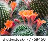 Beautiful light orange flowers of cactus - stock photo