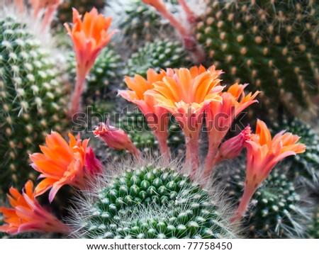 Beautiful light orange flowers of cactus - stock photo