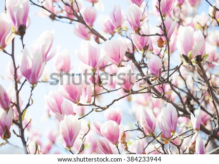 Beautiful light pink magnolia flowers on blue sky background. Shallow DOF