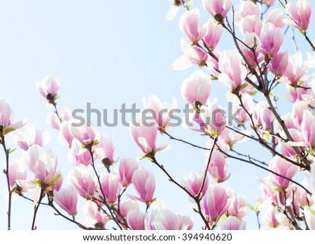 Beautiful light pink magnolia flowers on blue sky background. Shallow DOF - stock photo